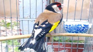 getlinkyoutube.com-من أقوى تغاريد طائر الحسون الجميلة و المحتكرة 2016