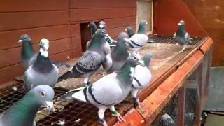 getlinkyoutube.com-racing pigeons 2012 - by carl greenhow