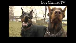 getlinkyoutube.com-Doberman. An introduction to the breed.