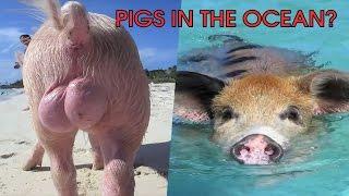 getlinkyoutube.com-Pig's in the ocean? - Balls of steel