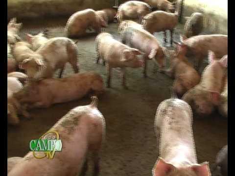 Cría y engorde de cerdos en la Granja ASA
