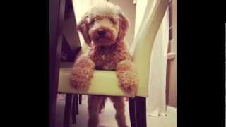 getlinkyoutube.com-Charlie The Mini Goldendoodle