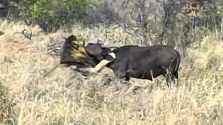 getlinkyoutube.com-Mapogo Lion Take Down