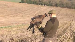 getlinkyoutube.com-Hunting hares with a golden eagle