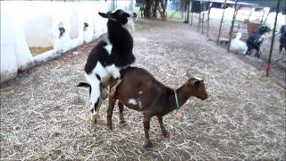getlinkyoutube.com-Nigerian Dwarf Goat Successful Breeding with Hunch Behavior