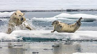 getlinkyoutube.com-Un ours polaire affamé surprend un phoque - ZAPPING SAUVAGE