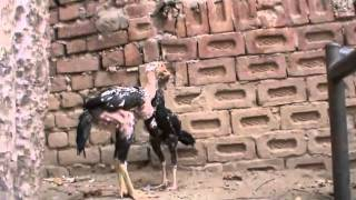getlinkyoutube.com-BABY ASEEL TIGER BREED by rana safdar shab