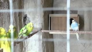 getlinkyoutube.com-تزاوج طيور الحب