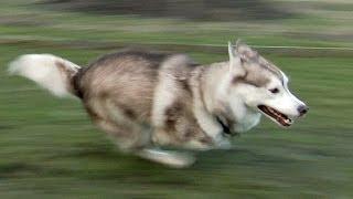 """getlinkyoutube.com-Fast running Siberian Husky """" Shasta """" from Sweden"""