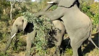 getlinkyoutube.com-Gay Elephants Doin' It - Rare Footage