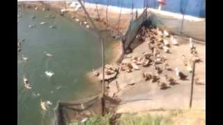 getlinkyoutube.com-Duck farmer in kerala