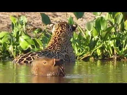 Flagra no Pantanal: Onça pintada ataca capivara  * Jaguar attacks capybara