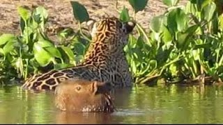 getlinkyoutube.com-Flagra no Pantanal: Onça ataca capivara  * Jaguar attacks capybara