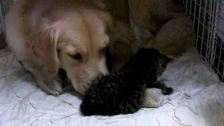 getlinkyoutube.com-ゴールデンレトリバー/犬と子猫 ゆっくり寝かせて