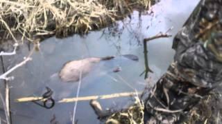 Drew's Beaver Conibear Trap