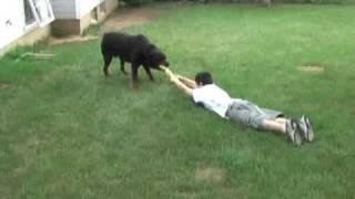 getlinkyoutube.com-Rottweiler pulling my son