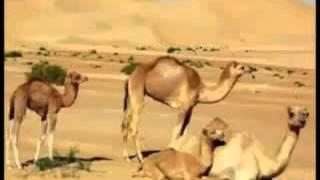 getlinkyoutube.com-شيلة:لي جيت امدح ربعي جهنان:ذيب جهينه