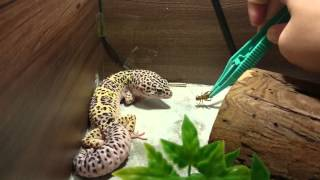 getlinkyoutube.com-My mack snow leopard geckos eating