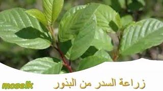 getlinkyoutube.com-زراعة السدر | النبق | من البذور