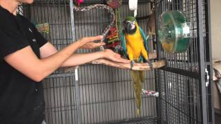 Aggressive Parrots: Teaching a macaw to step up Part 1