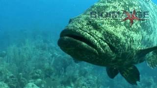 getlinkyoutube.com-Goliath grouper attack - El mero gigante