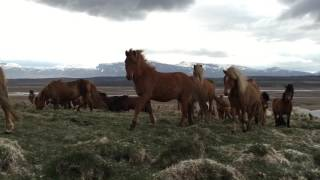 getlinkyoutube.com-Icelandic horses are super friendly