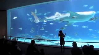 getlinkyoutube.com-水缸不是牠的家!  解放鯨鯊 不准再抓!