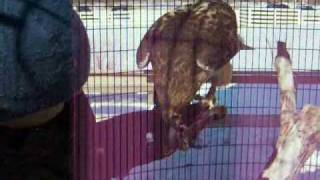 Hawk Training with positive reinforcement techniques and no restraint