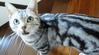 """母ちゃんを会社に行かせない!必死に引き留める猫 -Cat never say, """"Don't go out again, Mom """""""