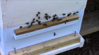 getlinkyoutube.com-MannLake Pollen Trap Review