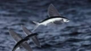 getlinkyoutube.com-Life - Flying Fish Fly | Fish