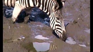 getlinkyoutube.com-African wildlife at a waterhole