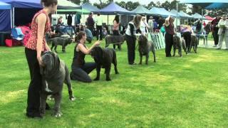 getlinkyoutube.com-Association of All Mastiff Breeds of Victoria - 9th Championship Show - Highlights