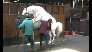 getlinkyoutube.com-Collection from horses for Artificial Insemination at Glenwood Stud
