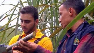 getlinkyoutube.com-Escuela de Campo - Selección y preparación de semillas para la siembra de caña -  Mayo 16 de 2013