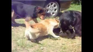 getlinkyoutube.com-PERROS DEFIENDEN A GATO QUE ES GOLPEADO, cats fight