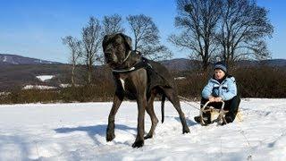getlinkyoutube.com-Great Dane - sledge dog.