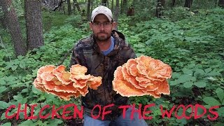 "getlinkyoutube.com-Chicken of the woods mushroom ""Laetiporus Sulphureus"""