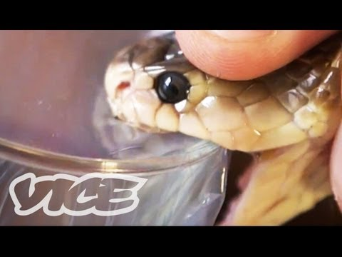 Getting High Injecting Snake Venom