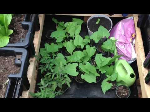 Rempotage de tomates et fèves