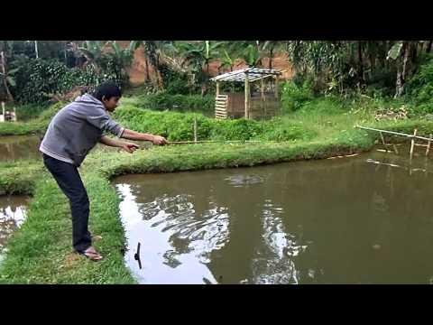 mancing ikan bawal merah