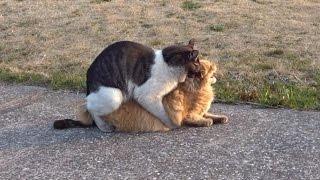 交尾中に喘ぐネコ。気持ちよさそ~。 野良猫物語 37話