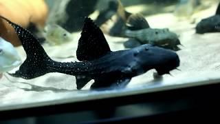 getlinkyoutube.com-3000 liter Amazon aquarium (paludaria)