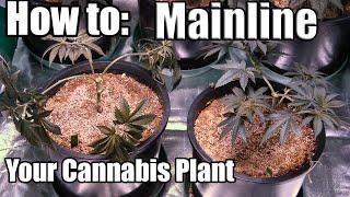 getlinkyoutube.com-How to: Mainline your Marijuana Plant