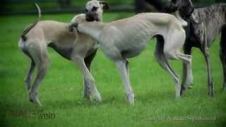 getlinkyoutube.com-Race The Wind 23 # Greyhound Hunting (Offenbach / Germany) • Dog Galgo Levrier Windhund Chasse