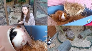 getlinkyoutube.com-Choosing a Guinea Pig Home