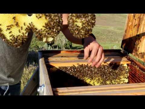Beekeeping with Cody 2016: Bee Update June
