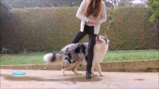 getlinkyoutube.com-Amazing dog Tricks / Agility  - Australian Shepherd