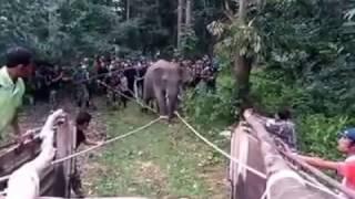 ภาระกิจจับช้างป่าที่ อ.ศรีสาคร จ.นราธิวาส ส่งคืนป่าฮาลาบาลา