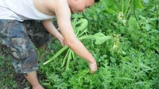 getlinkyoutube.com-ผักพื้นบ้าน บ้านไร่ริมสวน